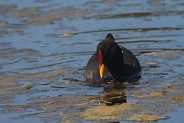 Red-fronted Coot.jpg