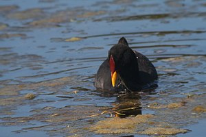 Red-fronted coot - Image: Red fronted Coot