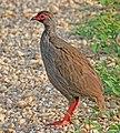 Red-necked spurfowl (Pternistis afer cranchii), crop.jpg