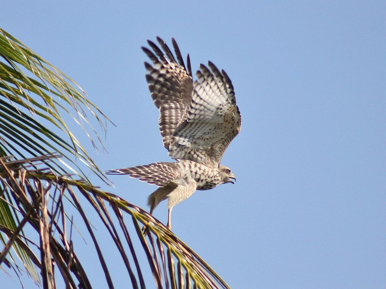 fileredshouldered hawk juvenile 7302806308jpg
