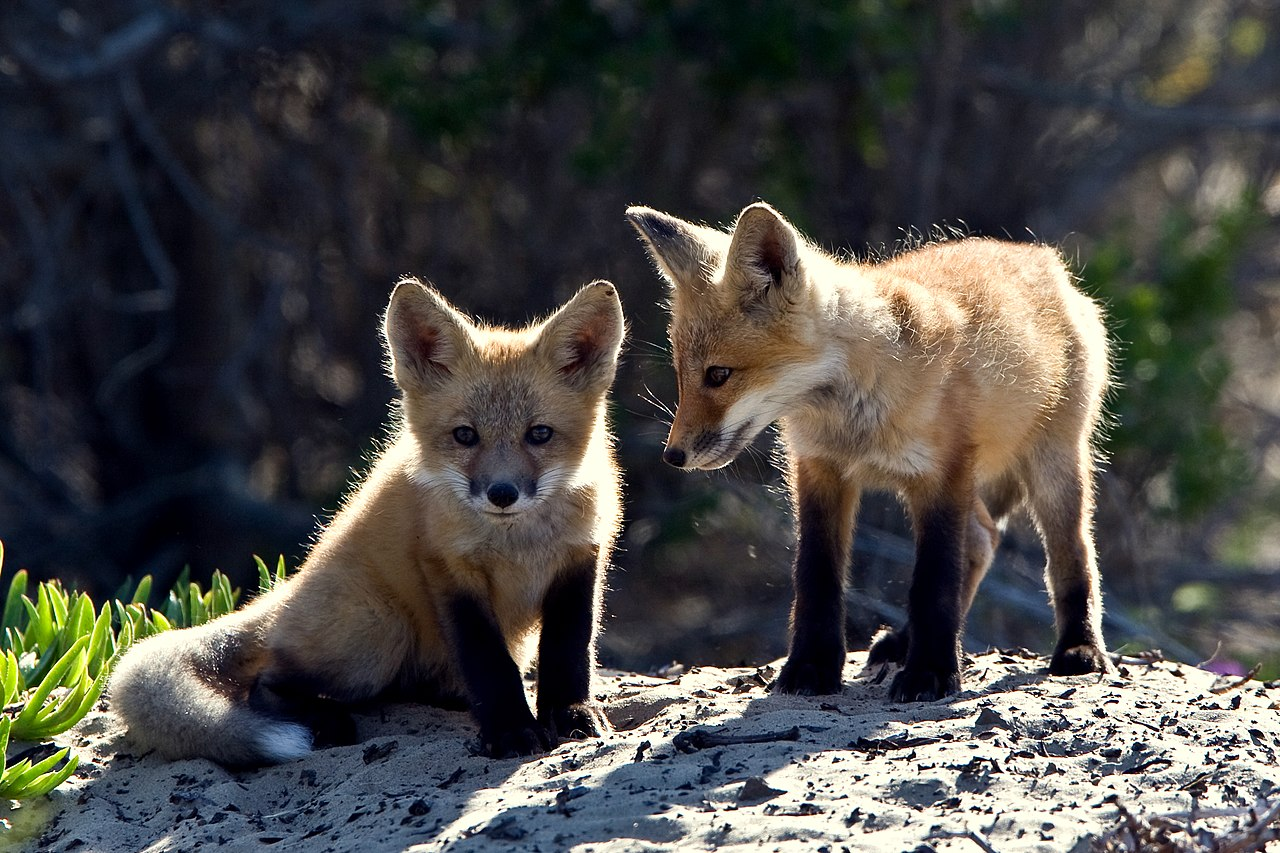 File Red Fox cubs jpgRed Fox Cubs