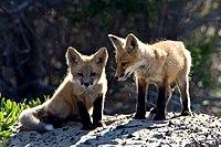 Red Fox cubs.jpg