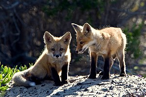 Red Fox cubs.