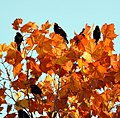 Red Winged Blackbirds (181857819).jpeg