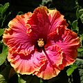 Red and Orange Hibiscus (18782551222).jpg