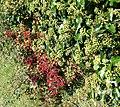 Red and green berries, Bishopstone - geograph.org.uk - 1009520.jpg