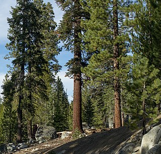 <i>Abies magnifica</i> Coniferous fir (pine tree) found in North America