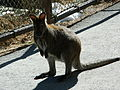 Red necked wallaby cheyenne mountain zoo.JPG