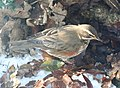 Redwing (Turdus iliacus) - geograph.org.uk - 1656502.jpg