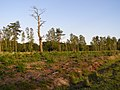 Regrowth in a cleared area in the Ipley Inclosure, New Forest - geograph.org.uk - 206680.jpg
