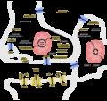 Release, Reuptake, and Metabolism Cycle of GABA.png