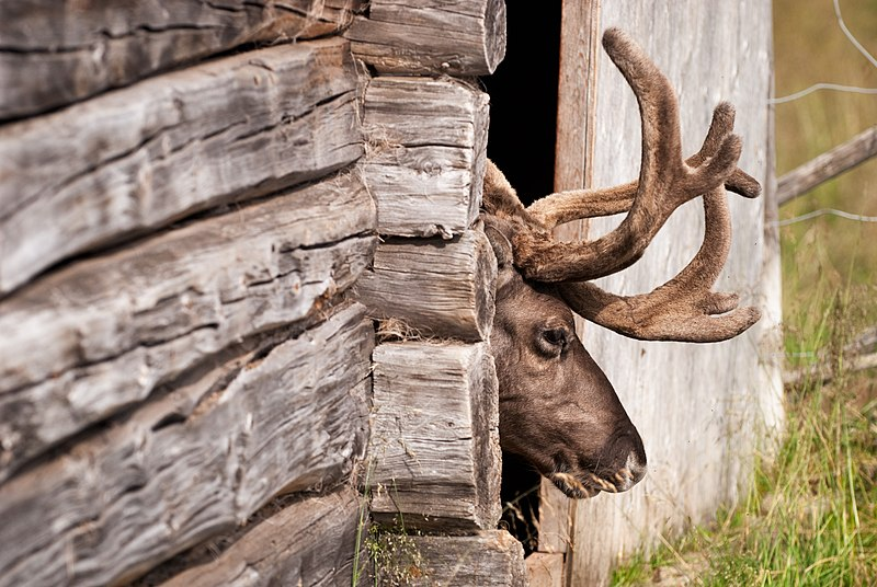 File:Ren, Lappland Sverige (3).jpg - Wikimedia Commons