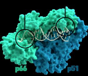 Reverse transcriptase - Image: Reverse transcriptase 3KLF labels