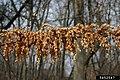 Reynoutria japonica fruit (08).jpg