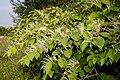 Reynoutria japonica val-de-grace-amiens 80 26082007 6.jpg
