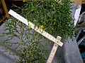 Rhipsalis salicornioides 3.jpg