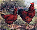 Rhode island red 1915 lithograph.jpg