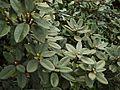 Rhododendron arboreum subsp. nilagiricum (6370530711).jpg