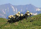 Rhododendron caucasicum in Sochi1.jpg