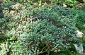 Rhododendron impeditum 3.jpg