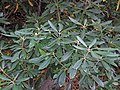 Rhododendron maximum (Fox Creek, Grayson County, Virginia, USA) 4 (29790779264).jpg