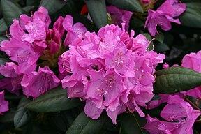 Rhododendron roseum elegans 8501.JPG