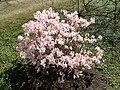 Rhododendron schlippenbachii 2019-04-20 1684.jpg