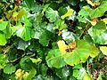 Rhoicissus tomentosa - cape grape creeper - cape town - 4.JPG