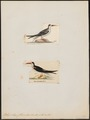 Rhynchops flavirostris - 1700-1880 - Print - Iconographia Zoologica - Special Collections University of Amsterdam - UBA01 IZ17900438.tif