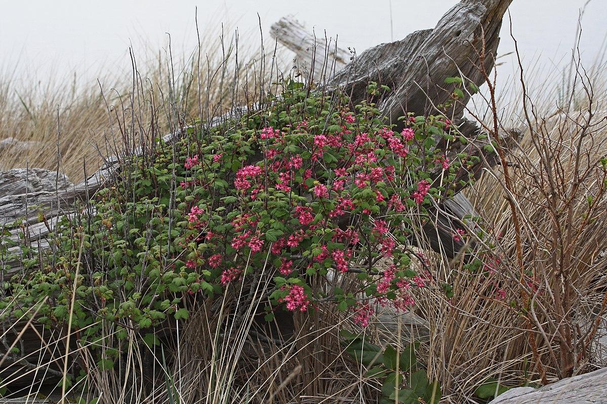 Ribes Sanguineum Wikipedia