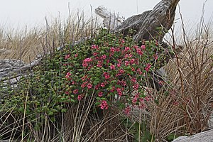 Ribes sanguineum - Ribes sanguineum var. sanguineum (Deception Pass State Park, Washington)