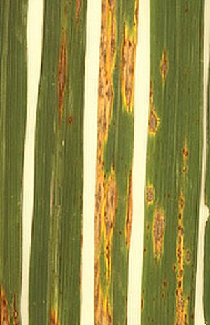 Magnaporthe grisea - Lesions on rice leaves caused by infection with M. grisea