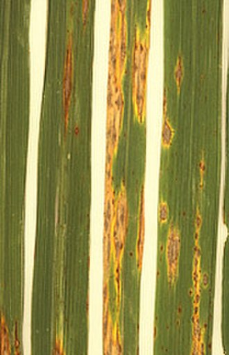 Plant pathology - Rice blast, caused by a necrotrophic fungus