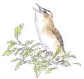 Rietzanger Acrocephalus schoenobaenus Jos Zwarts 2.tif