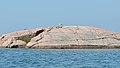 Ring-billed Gull (Larus delawarensis) - Killarney, Ontario.jpg