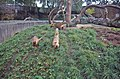 Ring Tailed Coatis - geograph.org.uk - 1478403.jpg