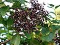 Ripening elderberries - geograph.org.uk - 545948.jpg