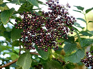 English: Ripening elderberries