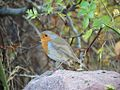 Robin (22600799066).jpg