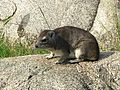 Rock Hyrax - Flickr - gailhampshire.jpg