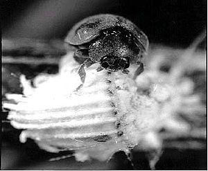 Icerya purchasi - Rodolia cardinalis feeding on cottony cushion scale