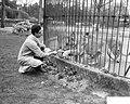 Roofdierenverzorger Frits Verbrugge gered in leeuwenkooi door collega Rudi Sitte, Bestanddeelnr 910-2775.jpg