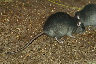 Black rat - Black rats in the Tierpark Hagenbeck in Hamburg, Germany.