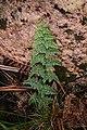 Roraima Eriosorus paucifolius.JPG