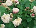 Rosa 'Duchesse de Grammont'.jpg
