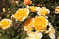 Rosa 'Molineux' IMG 4363.jpg