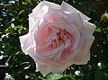 Rosa 'New Dawn' J1.jpg