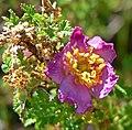 Rosa minutifolia 4.jpg