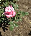 Rosa paradise.jpg