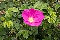 Rosa rugosa 21.jpg